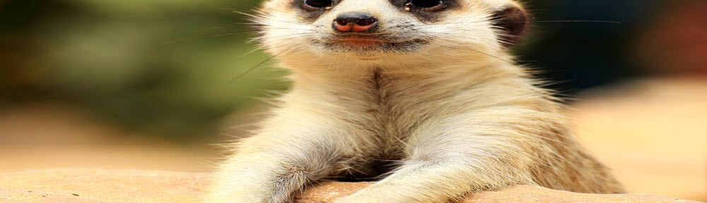 meerkat (2)FI